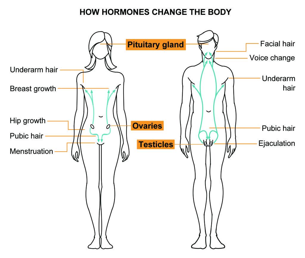 Hormonal Male-Female diagram