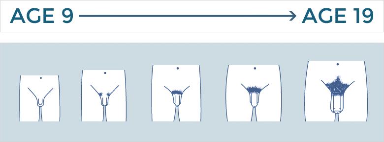 penis development